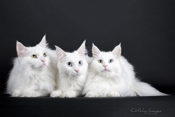 3 Generations white MCO from Cattery Tempus Fugit © Cat'chy Images 2014
