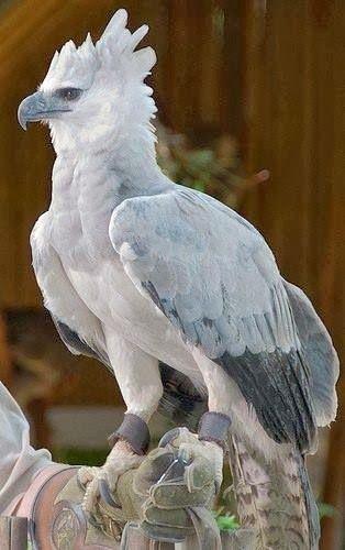 Harpy Eagle. Beautiful
