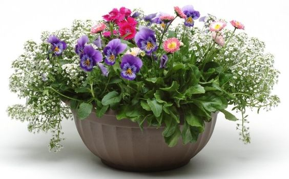 Alyssum - Pansy (viola) - Dianthus