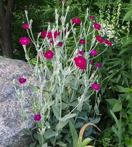 Rose Campion Lychnis coronaria-I've always called it ...