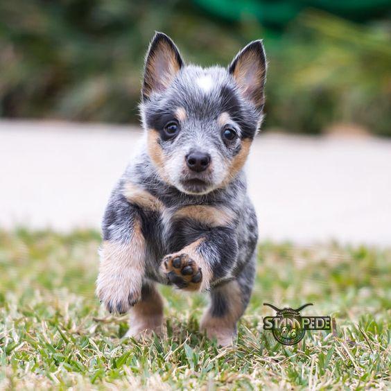 Australian Cattle Dog Blue Heeler Puppy Dogs