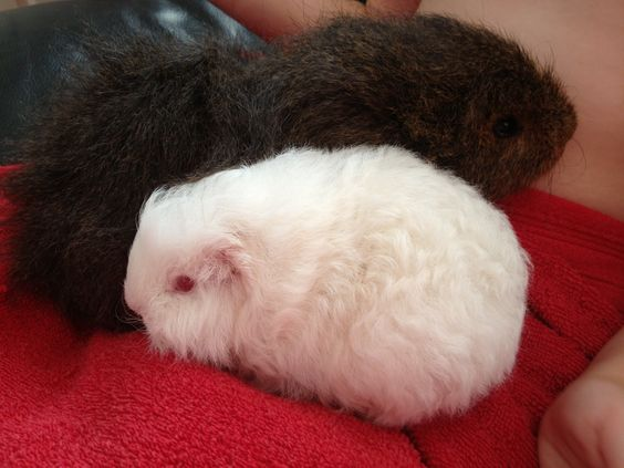 Jovi my new baby Swiss with he's friend Jacko another Swiss guinea pig