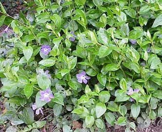 Vincapervinca planta rastrera que cubre suelos de for Plantas para rocallas