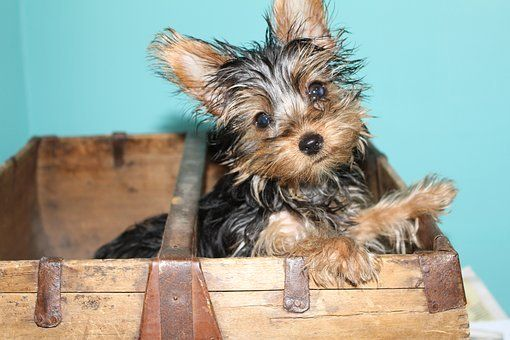 Teacup Puppies For Sale In Georgia Ga In 2020 Teacup Puppies Teacup Yorkie Puppy Yorkie Puppy For Sale