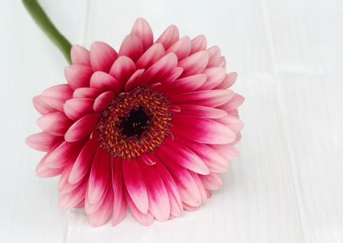 Single Pink Gerbera Flower With Dark Pink Petals Tipped With Pale Pink Flowers Photography Pink Gerbera Gerbera Flower