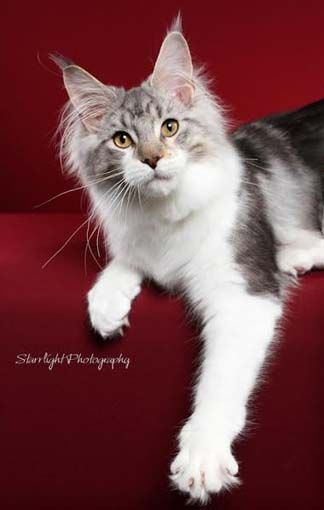 Maine Coons, Maine Coon Kittens for Sale Tucson, AZ