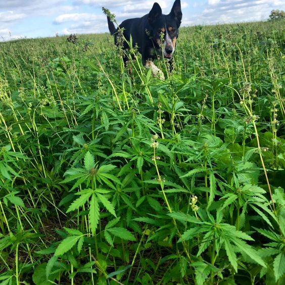 Happy the #hemp dog loves running in the fields! She ran the Iditarod and now she's a full blown #farm pup! #Kentucky #dogs #fields #agriculture #crop #farming #farmlife #culture #ky #ag