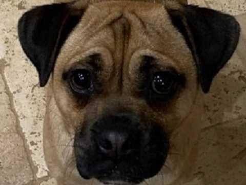 Cute Pug Ears Rose Vs Button In 2020 Cute Pugs Pugs Pug Dog