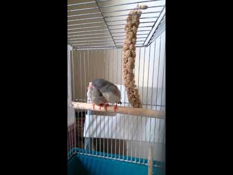 A pair of Zebra Finch! :) - YouTube