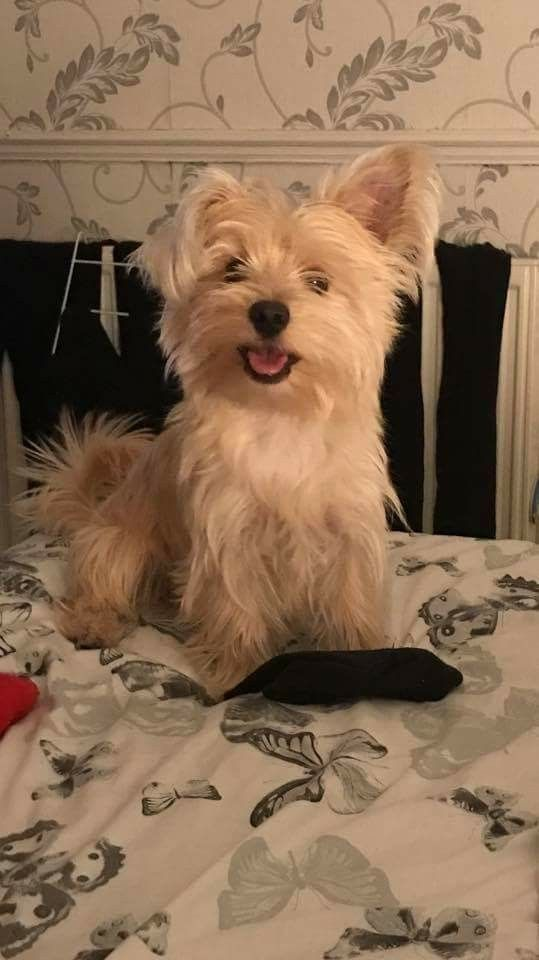 Morkie Syd Fb 1 Yr With Images Pitbull Terrier Super Cute