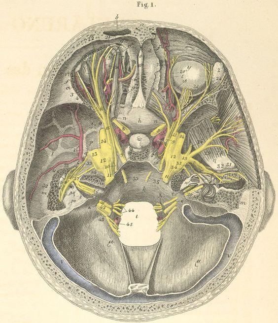 Orbit Anatomy Anatoma Artistas Cara Pinterest Orbit Anatomy