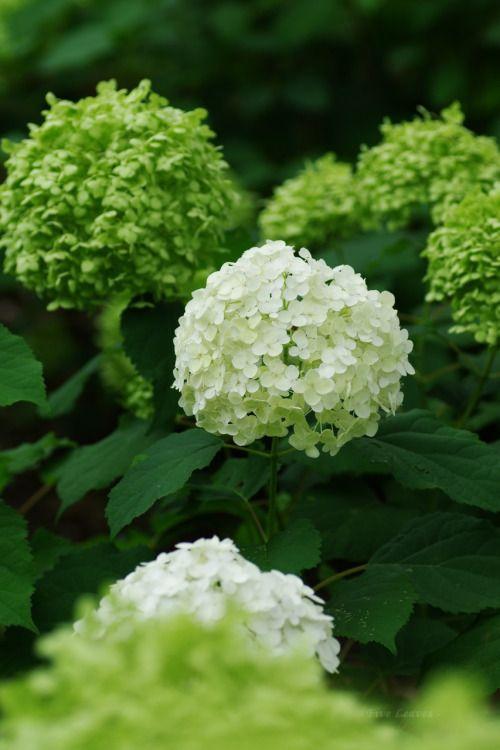 紫陽花あじさい アナベル Hydrangea arborescens Annabelle