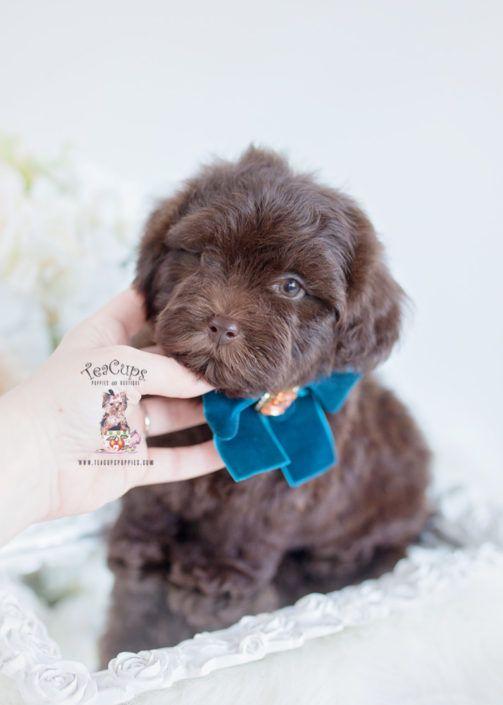 Chocolate Shih Poo Puppy For Sale 004 B Shih Poo Puppies Shih