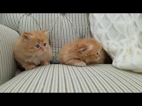 Baby Kittens Playing Cute Kitten Videos Must See Youtube Cute Kitten Gif Kittens Cutest Baby Kittens