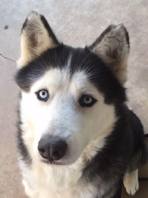 Pin On The Husky Dog