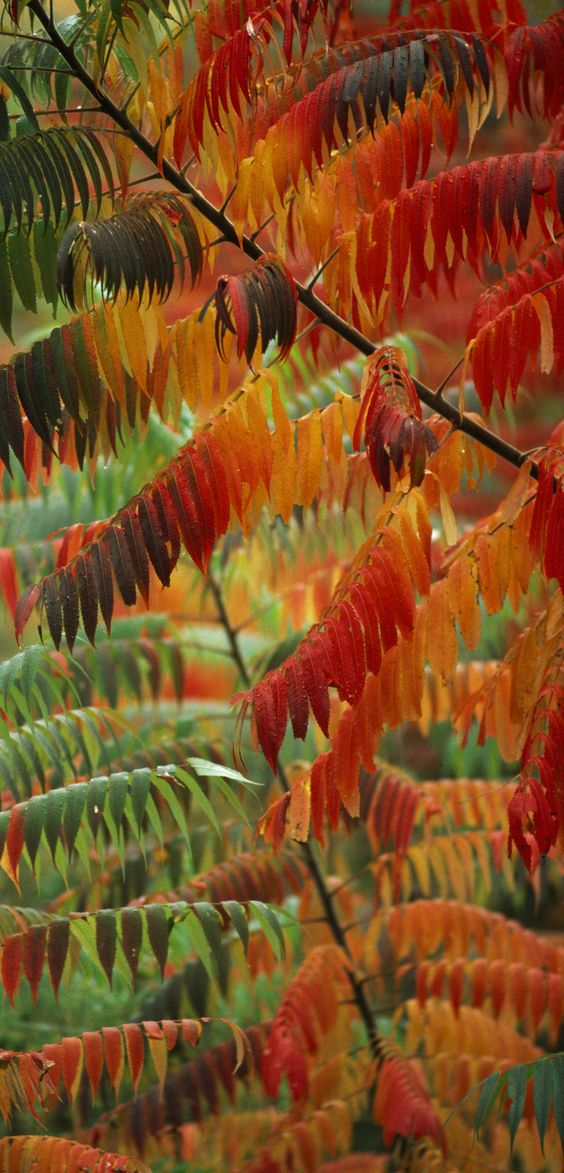 Autumn's colors transform sumac trees in Great Smoky Mountains National Park. #Fall