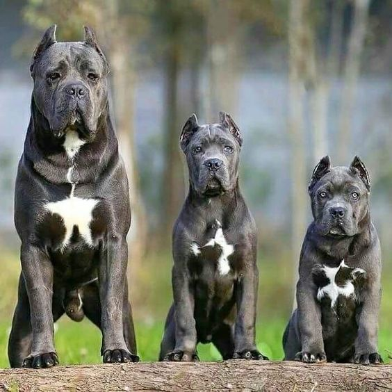 What Your Favorite Dog Breed Says About You Dogspaceblog Corso Dog Cane Corso Dog Cane Corso Puppies