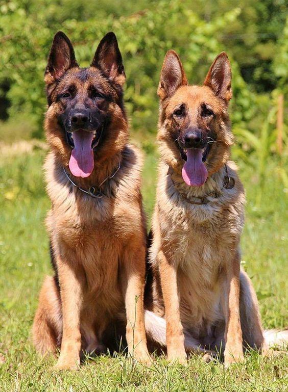 Residential Dog Training Uk German Shepherd Dogs German