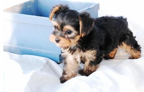 Akc Yorkie Puppies For Sale Kalamazoo Mi Asnclassifieds Yorkie Puppy Yorkie Puppy For Sale Puppies For Sale