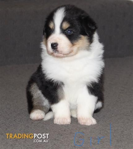 Pin By Karen Gilloon On Sugars Sweet So Are They Border Collie Puppies Collie Puppies Puppies