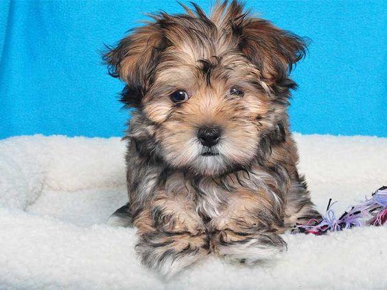 MALTESE/YORKIE MIX female Adorable Animals Pinterest