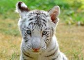 White tigers are the result of a genetic mutation. They are very rare in the wild. They have been inbred.