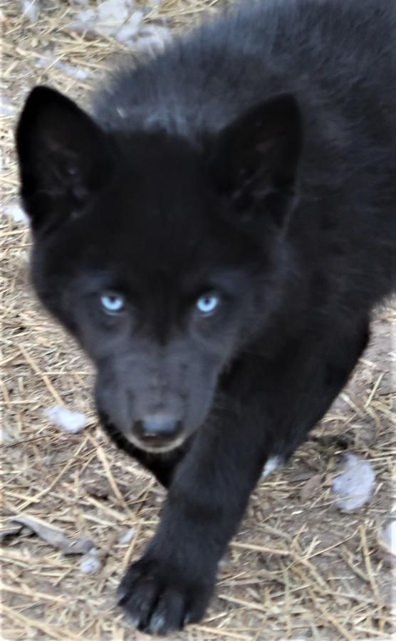 Black Wolf Dog Wolfdog Black Blue Eyed Blackfire Kennel
