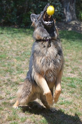 German Shepherd in action! Dog, tennis balls, fetch.