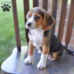 Beagle Puppies For Sale Beagle Breed Profile Beagle Breeds