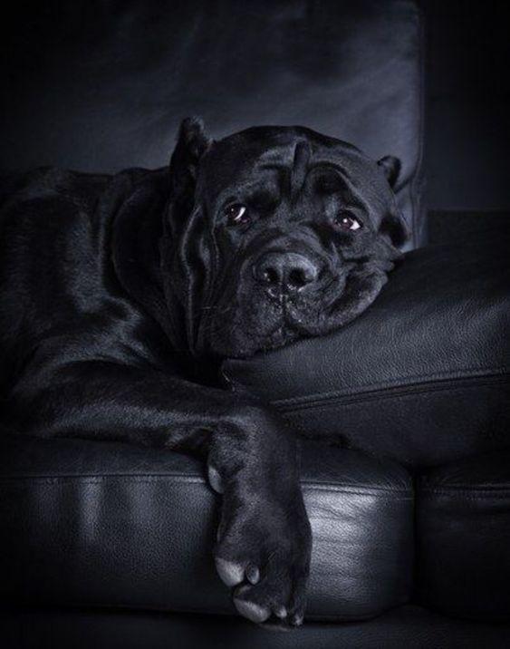 Cane Corso Lovers Club Cane Corso Dog Corso Dog