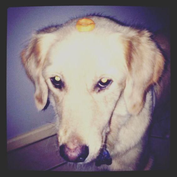 Completely oblivious to the burger ring on her head!  #baileyandruby #dogsofinstagram #instadog #goldenretriever #retrieveraddiction #burgerrings #puppylove #funnydog #oddball #cute by bailey_and_ruby