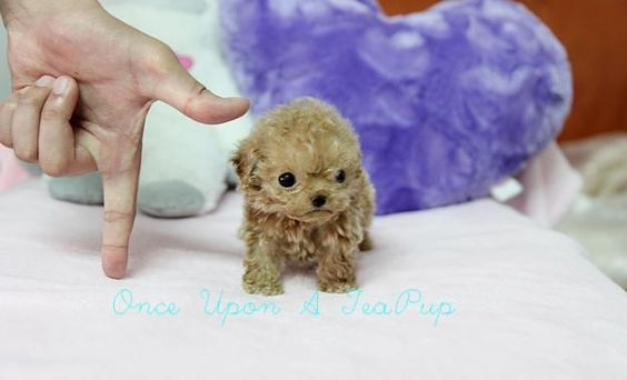 This puppy is called a micro tea cup poodle. This puppy doesn't get big though it only grows up to be as big as the palm of your hand!!!