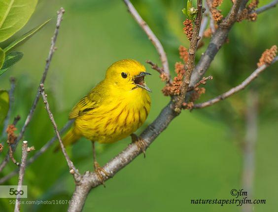 A Flash Of Yellow !!!!!!!!! by judylynn
