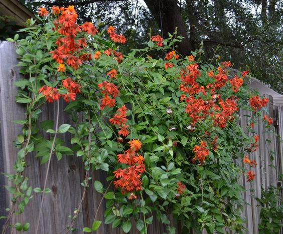 January Blooms Mexican Flame Vine Central Florida Gardening