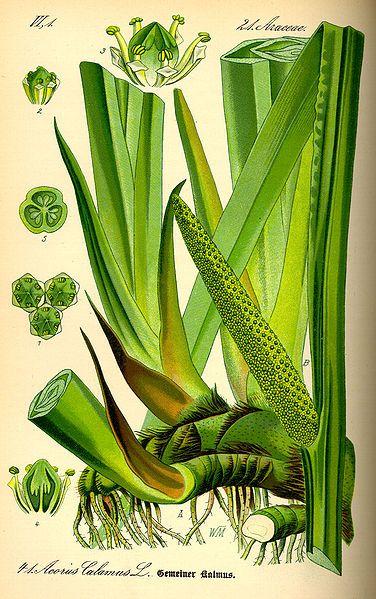 Acorus calamus. Prof. Dr. Otto Wilhelm Thomé Flora von Deutschland, Österreich und der Schweiz 1885, Gera, Germany