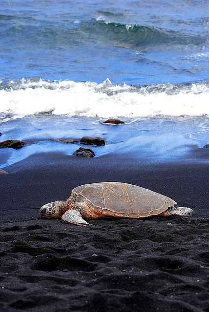 A Hawaiian green sea turtle resting on the black sand beach of Punalu'u in Kailua Kona on the Big Island of Hawaii