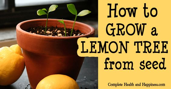 Learn how to grow a lemon tree from seed good info to for How do you plant lemon seeds