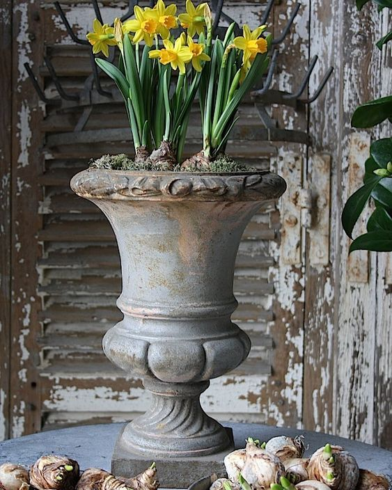 Love Daffodils! Springtime is coming! #daffodils #springtime #flowerbulbs #urn #frenchstyle #frenchbrocante #brocante #vintage #countrystyle #atelierdecampagne