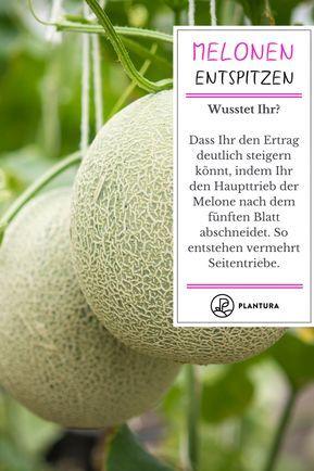 Melonen Pflanzen Zuckermelone Honigmelone Co Melonen Pflanzen Zuckermelone Melonen