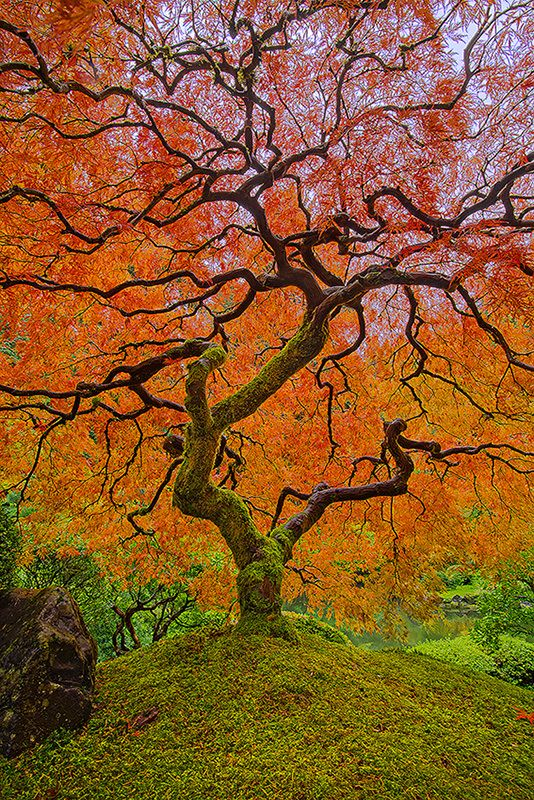 Japanese gardens japanese maple trees and portland on for Japanese garden colors