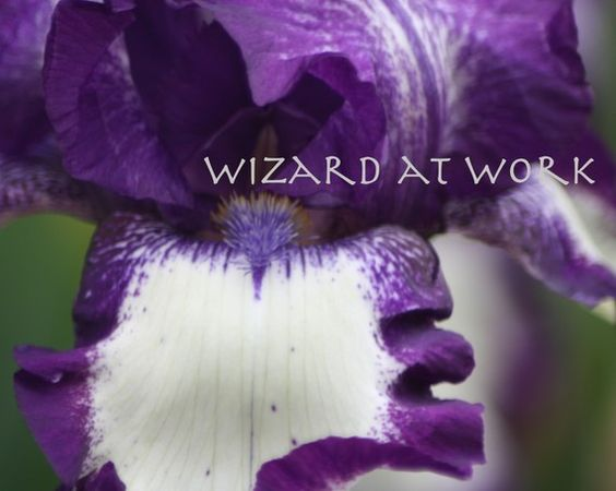 Inside the Iris flower wildflower purple white by WizardAtWork, $5.00