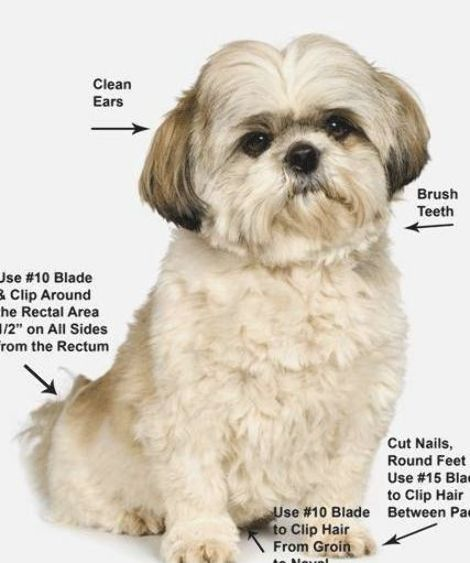 How To Shih Tzu Grooming Style Photos Pet Grooming Shih Tzu Puppy Grooming At Home Dog Groom In 2020 Shih Tzu Grooming Dog Grooming Styles Puppy Grooming