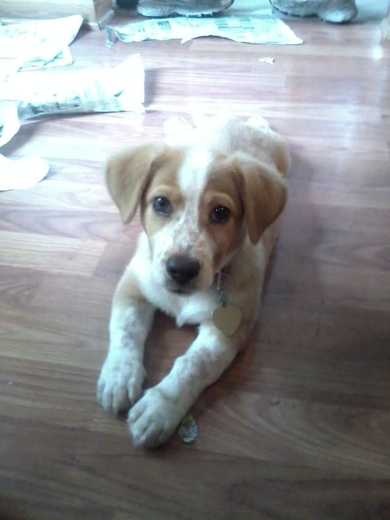 Our Puppy Zoey At 12 Weeks Old She Is A Beagle Corgi Mix Love
