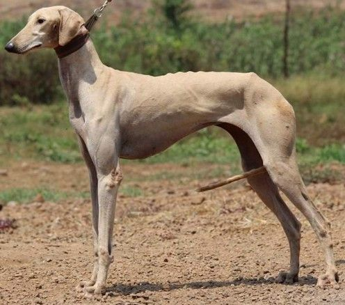 Top 20 Indian Dog Breeds Purchasing Price And Care In 2020 Dog