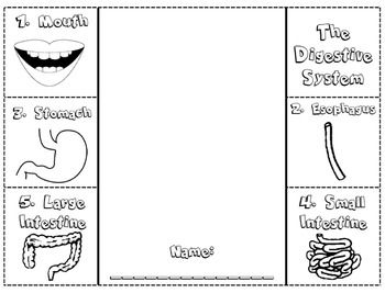 Digestive system foldable/note catcher with an accompanying article to ...