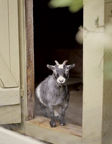 I've always wanted a little goat :)