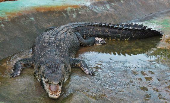 crocodilo - Pesquisa Google