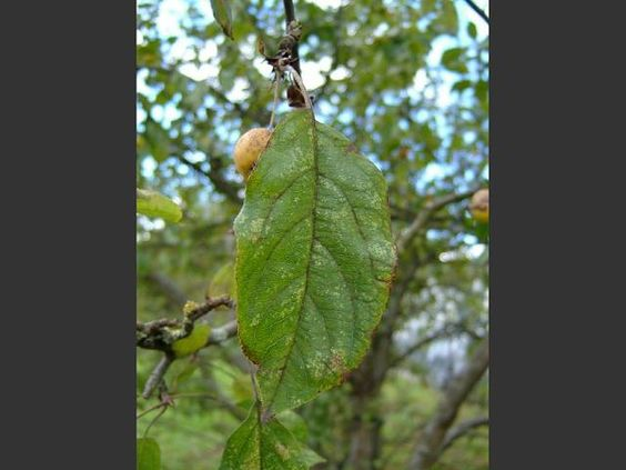 Crab Apple leaf (Malus sylvestris)