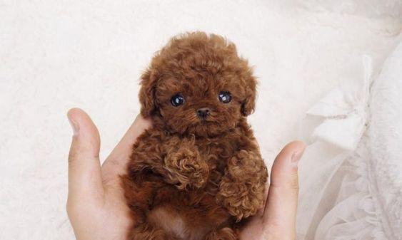 Chó Poodle size càng nhỏ giá càng cao