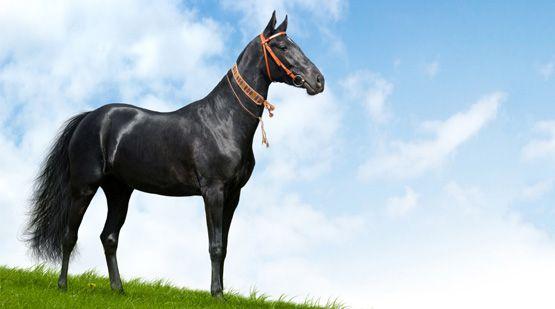 Achal-Tekkiner | Verein freunde der Achal-Tekkiner Pferde Schweiz